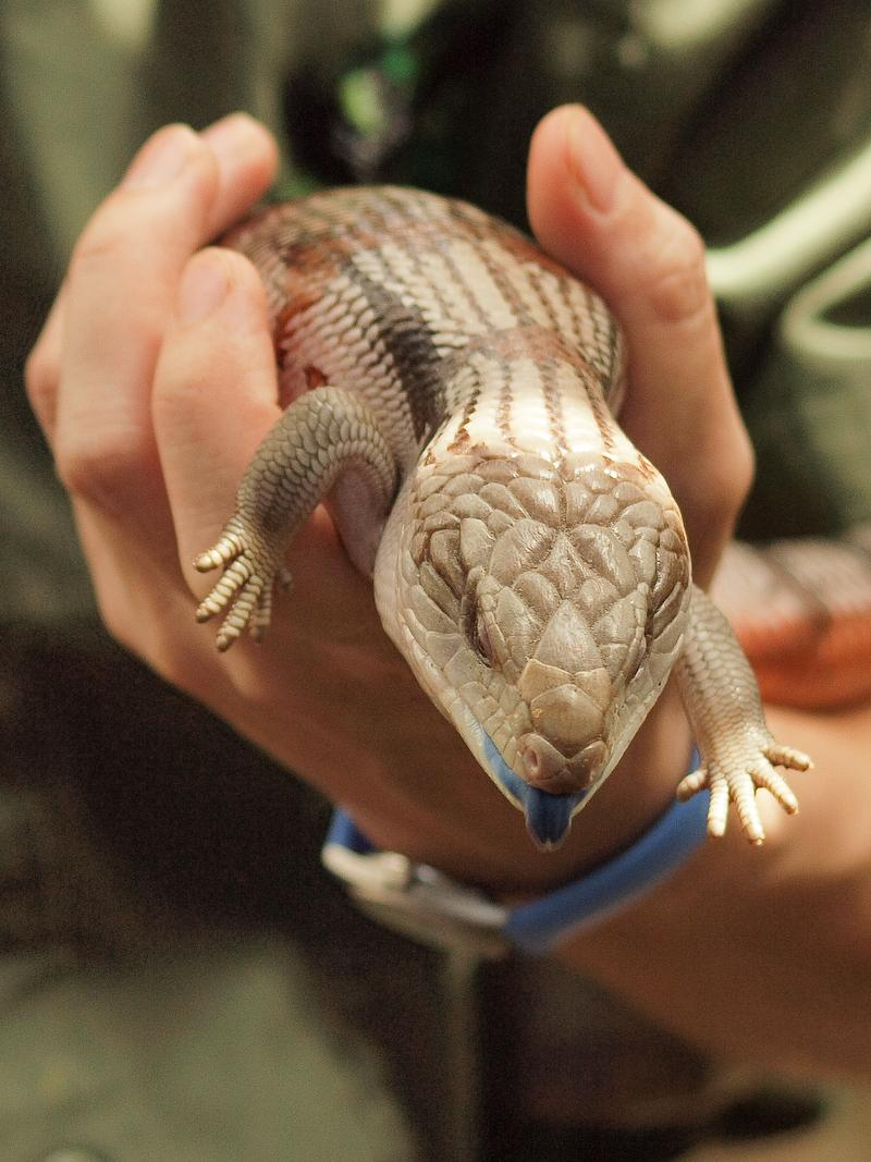 216_Blue_Tongue_Skink_Cairns_reg.jpg