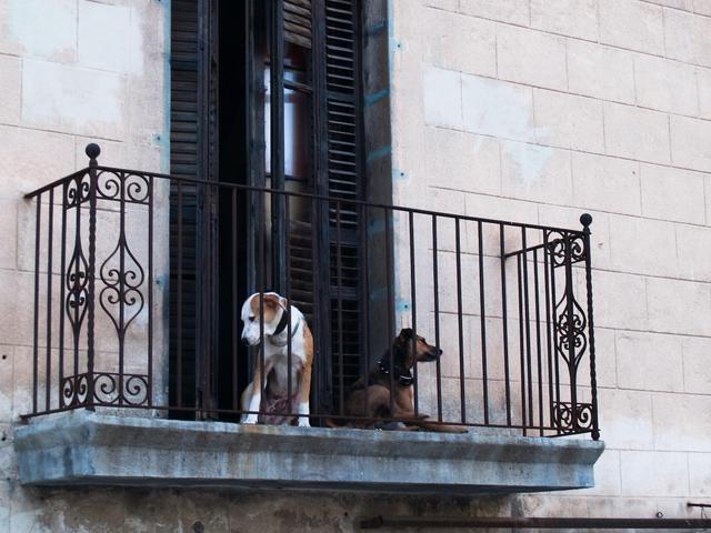 Dogs on a Balcony