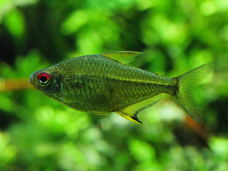 African Red Eye Tetra for Pinterest