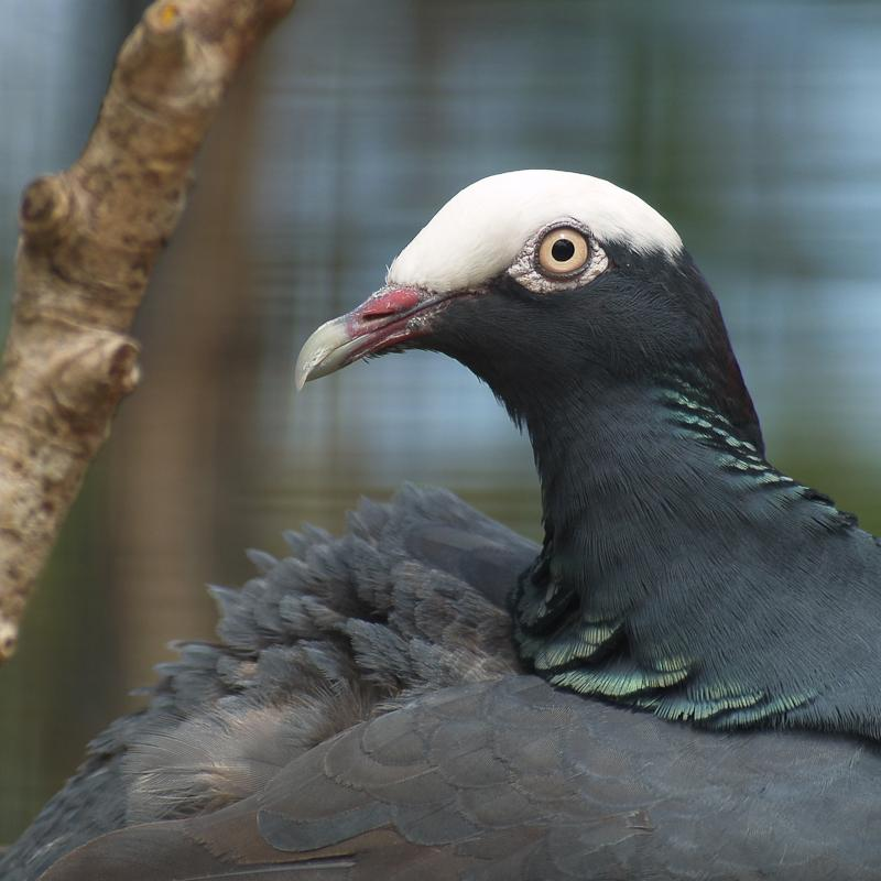 White crowned pigeon - photo#13