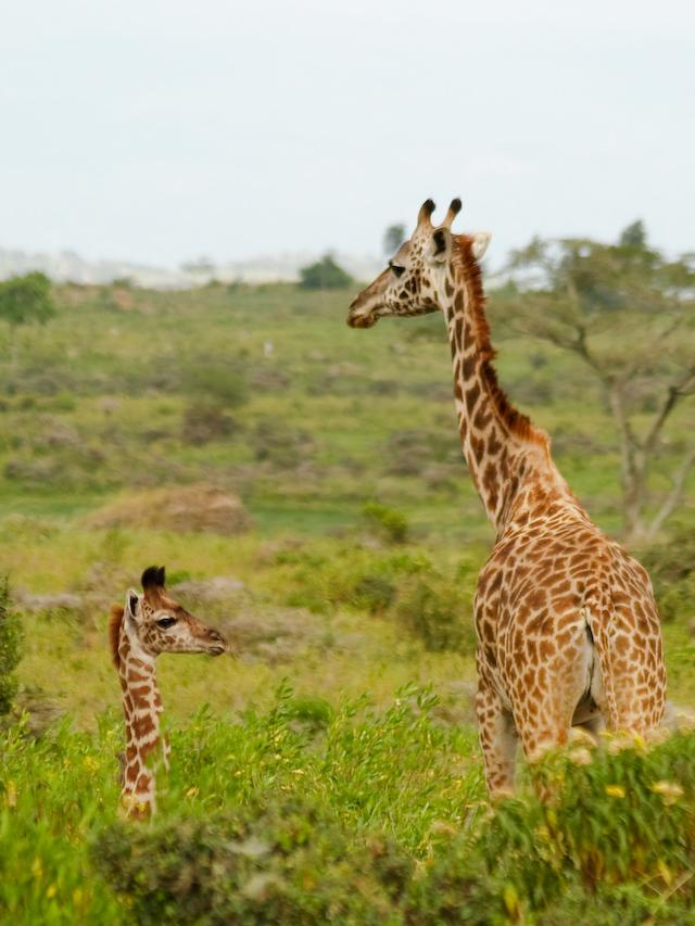 Giraffe and calf